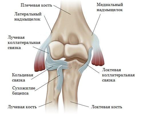 Строение связок на примере локтевого сустава